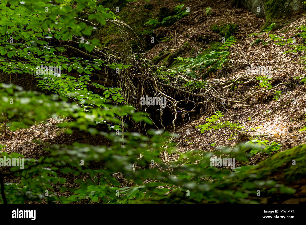 In the wood - roots - Stock Image