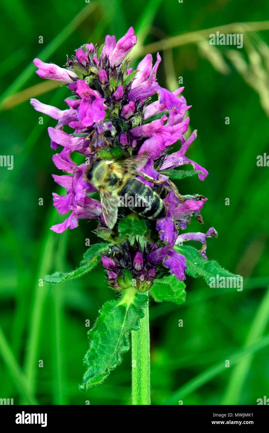 Close-up view of a nectar collecting bee on a purple dead-nettle - Stock Image