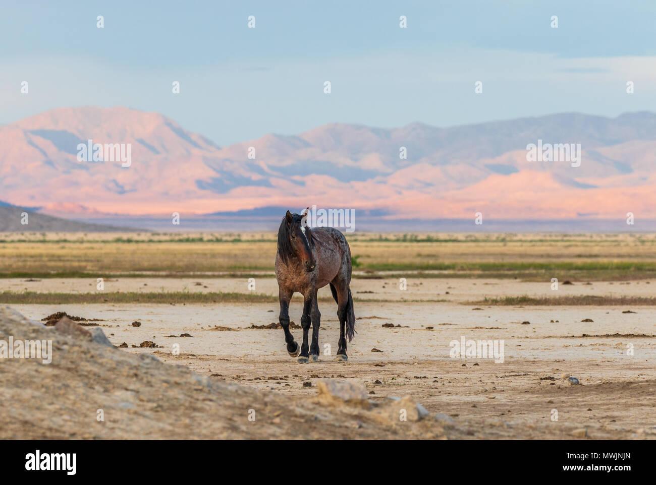 Wild Horse Stallion in Utah - Stock Image