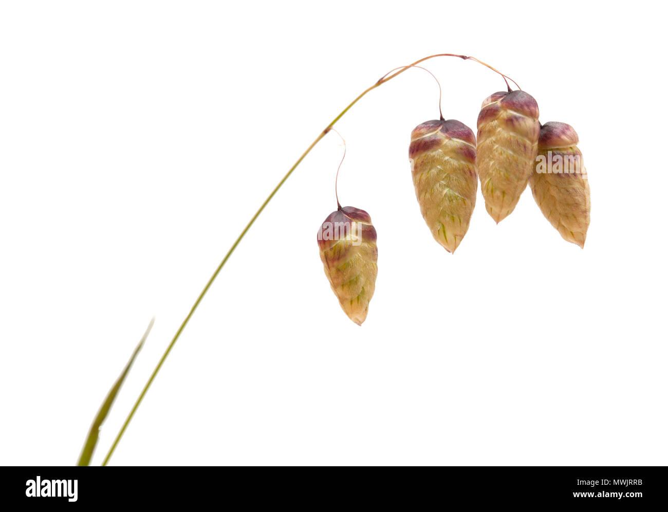 Flora of Gran Canaria -  Briza maxima, quaking grass - Stock Image