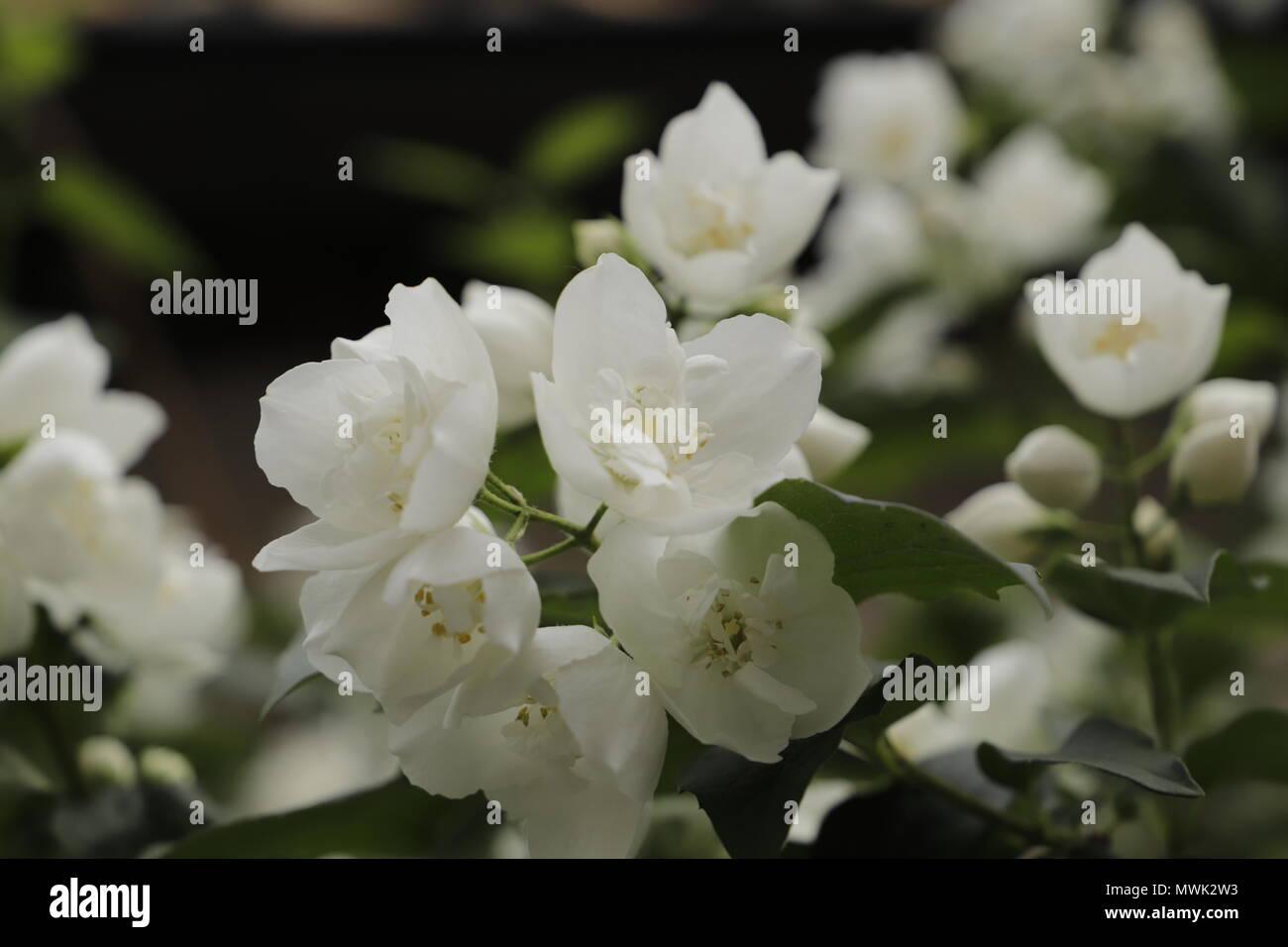 Jasmine flowers in the spring - Stock Image