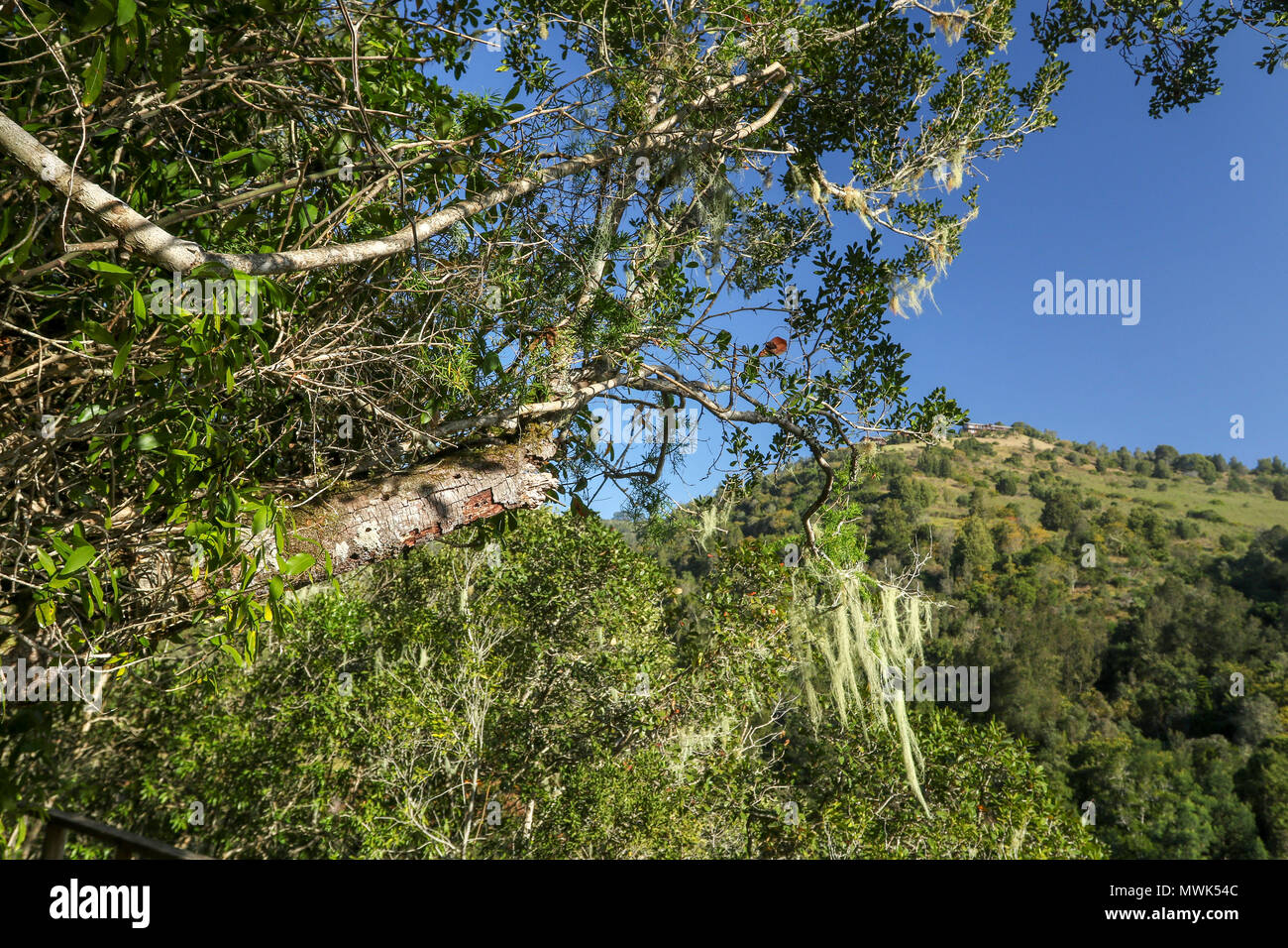 Blue sky landscape with moss hanging from tree along the half collared kingfisher trail in the wilderness nature reserve, south africa - Stock Image