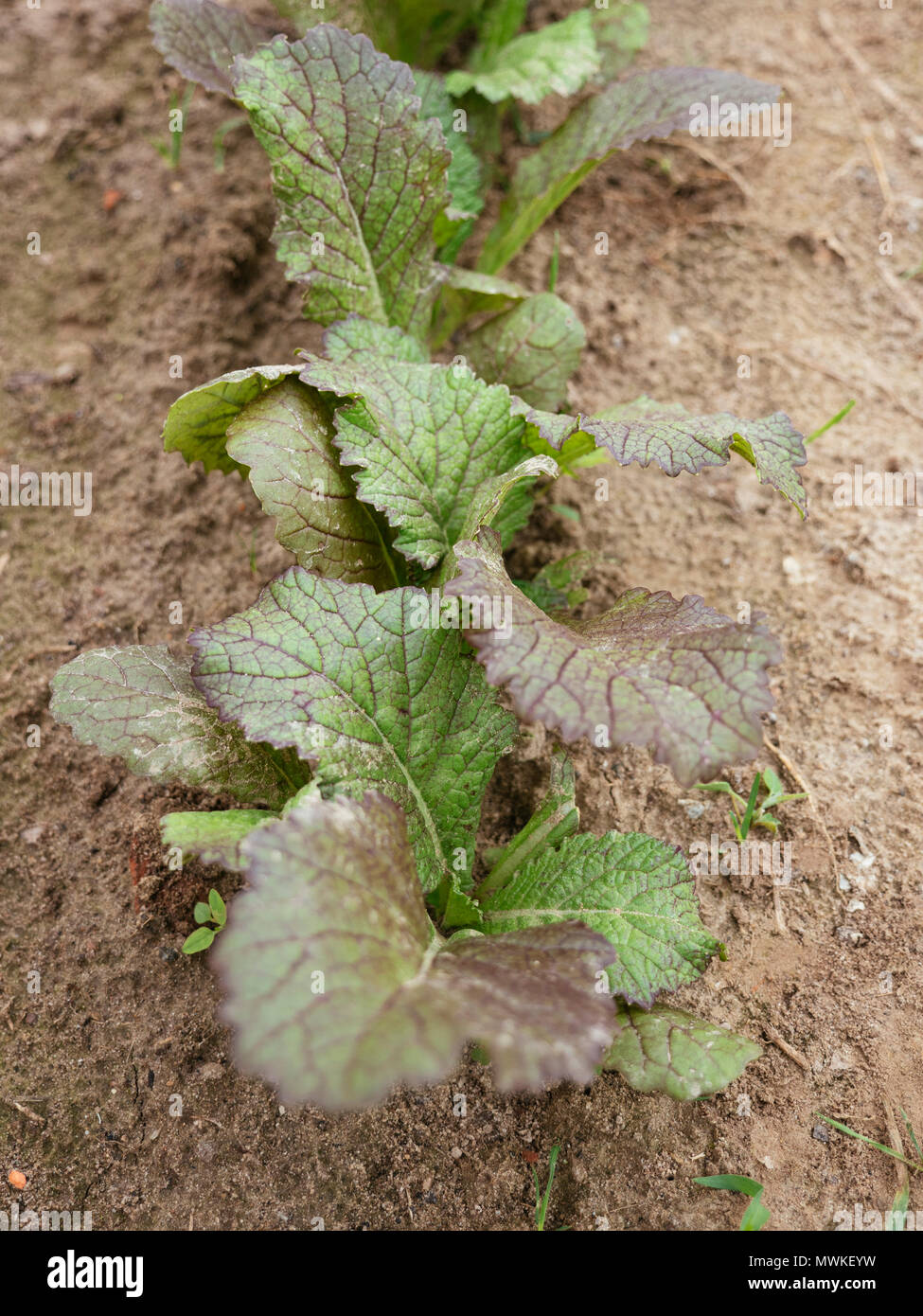 Chinese Red Giant leaf mustard (Brassica juncea) in a vegetable garden Stock Photo
