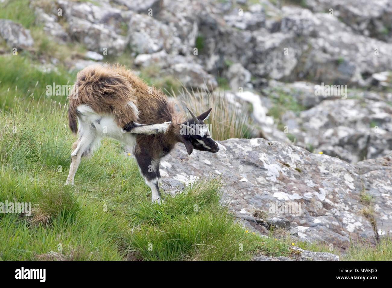 Feral goat Capra hircus female scratching on rocky coast, Grasspoint