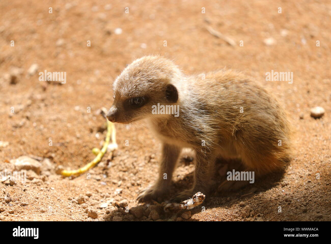 Baby Meerkat at Newquay Zoo - Stock Image