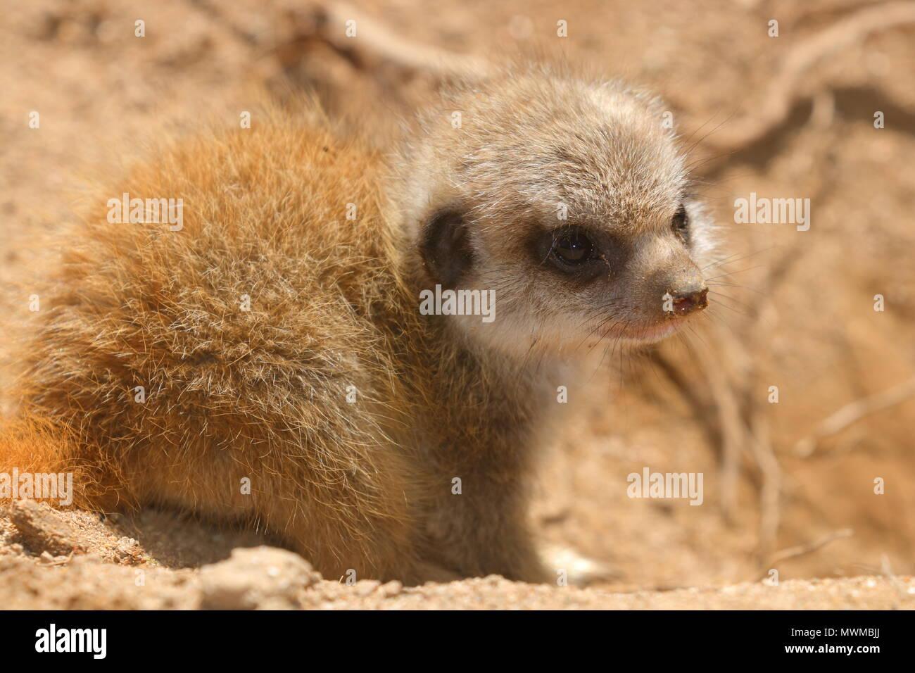 Baby Meerkat at Newquay Zoo Stock Photo