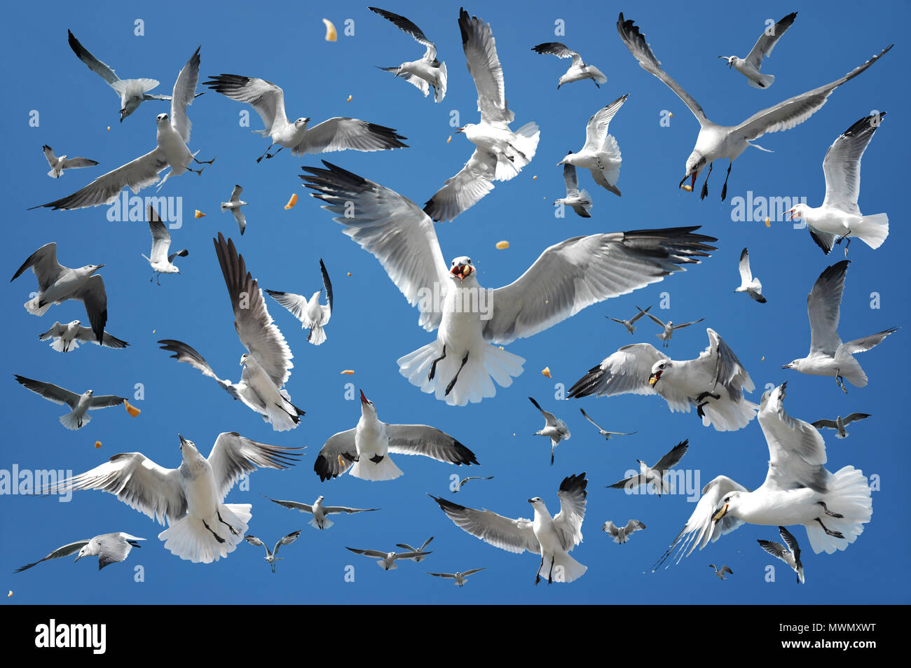 Feeding a flock of seagulls in the air. Stock Photo