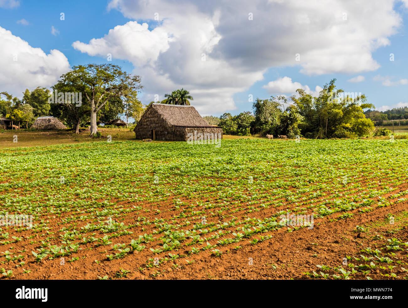 View of Vinales landscape in Cuba. - Stock Image
