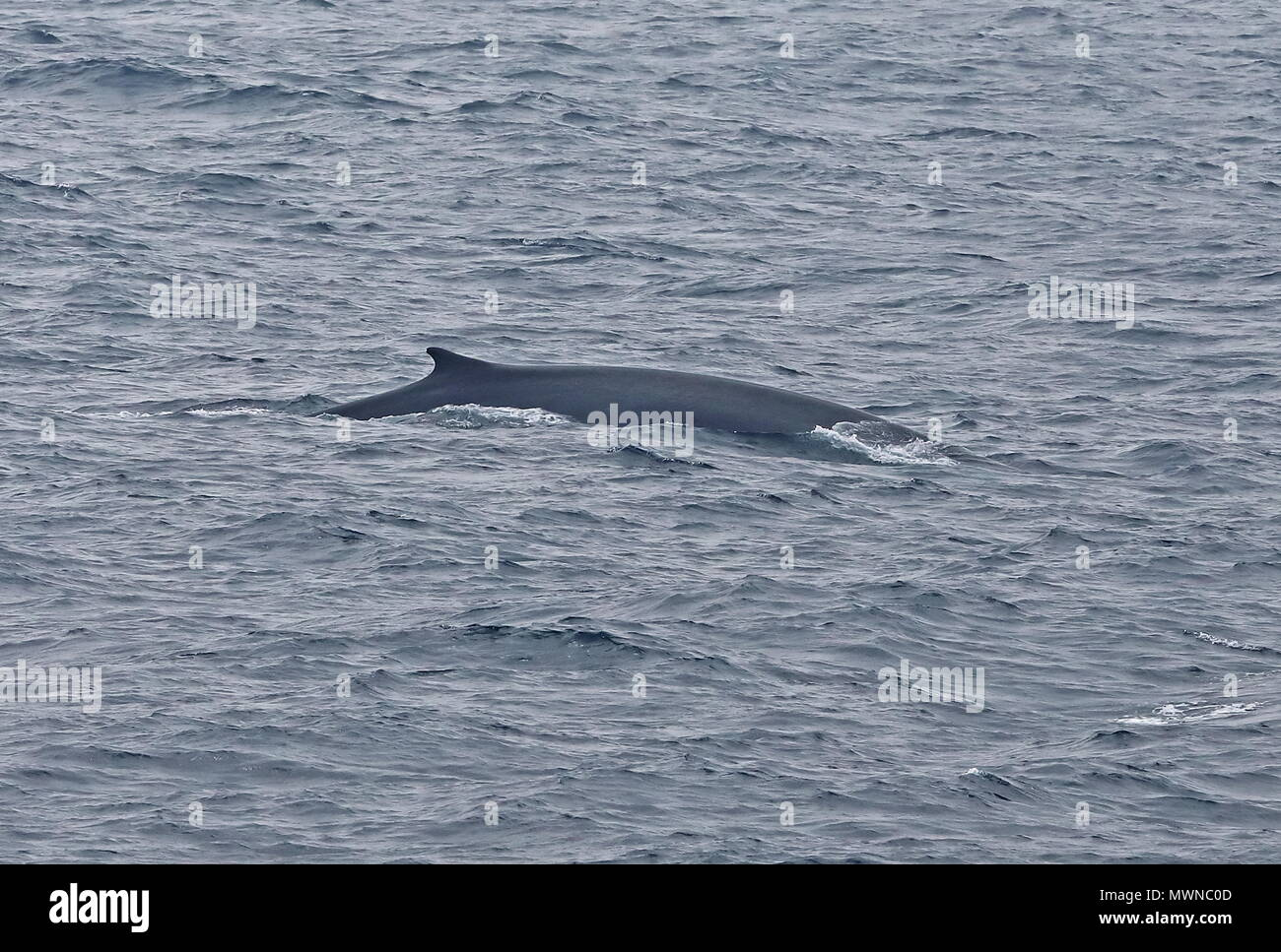 Fin Whale (Balaenoptera physalus physalus) adult surfacing  Atlantic Ocean off Portugese coast                  May - Stock Image