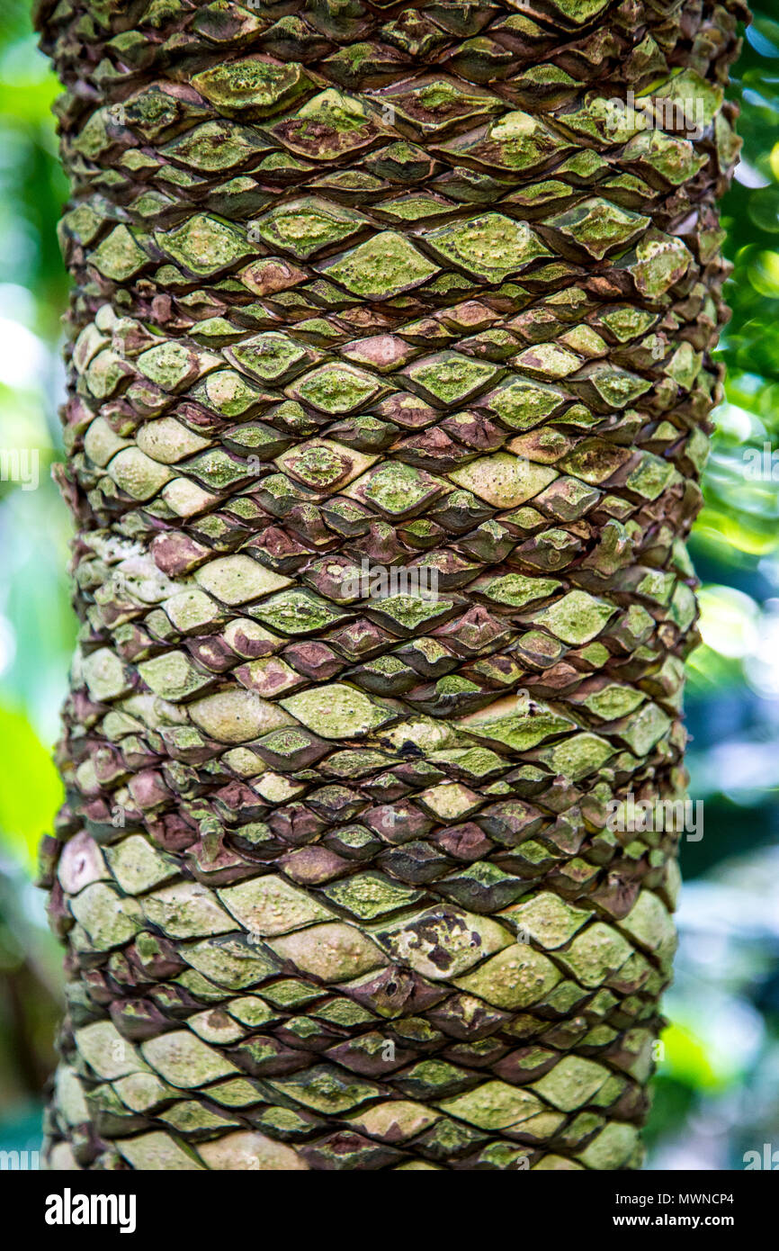The bark of Dioon spinulosum (Gum Plant) - Stock Image