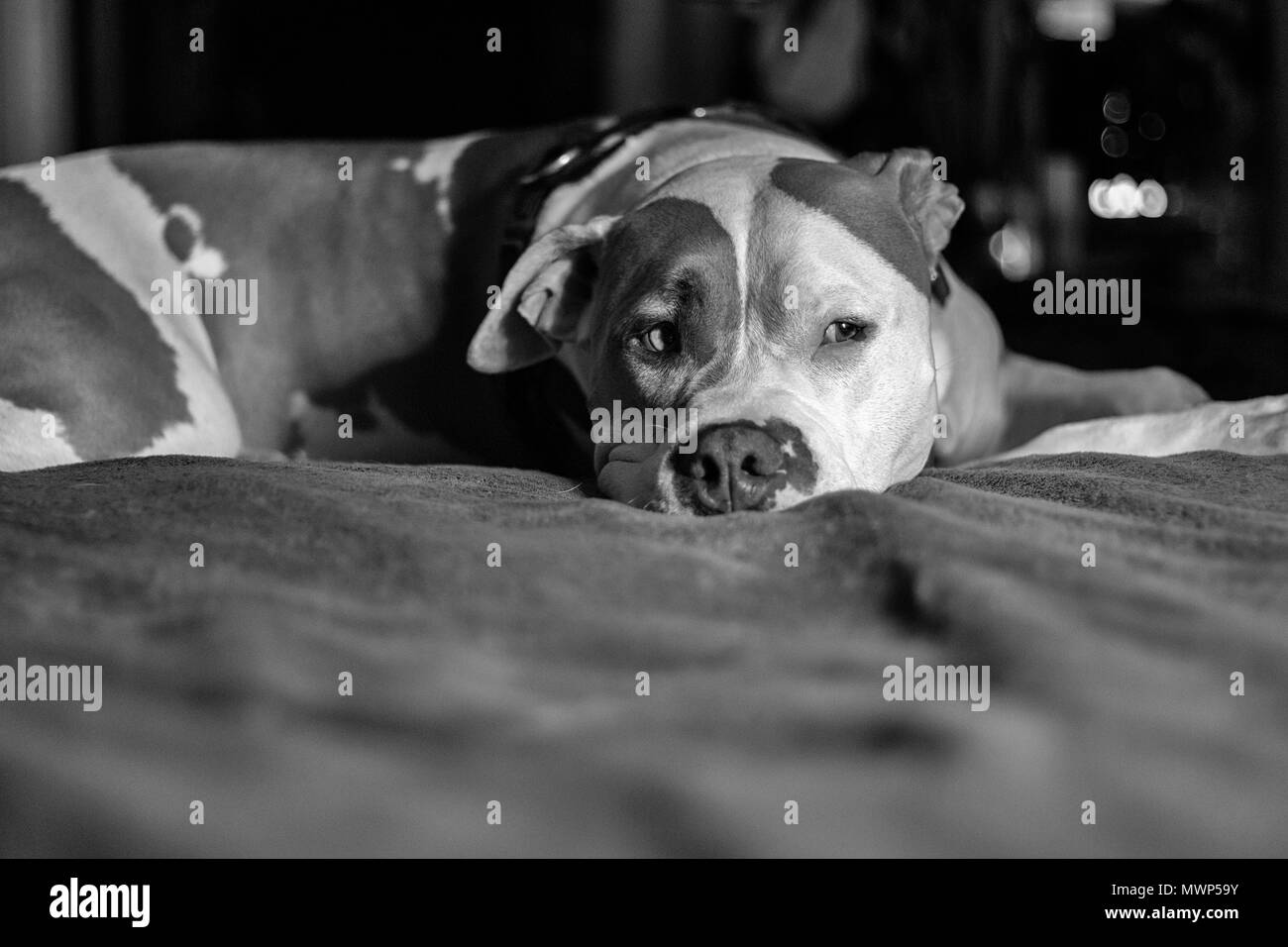 A dog (mixed breed of pitbull terrier) (Canis lupus familiaris) lays on a sea of blanket on a bed - Stock Image