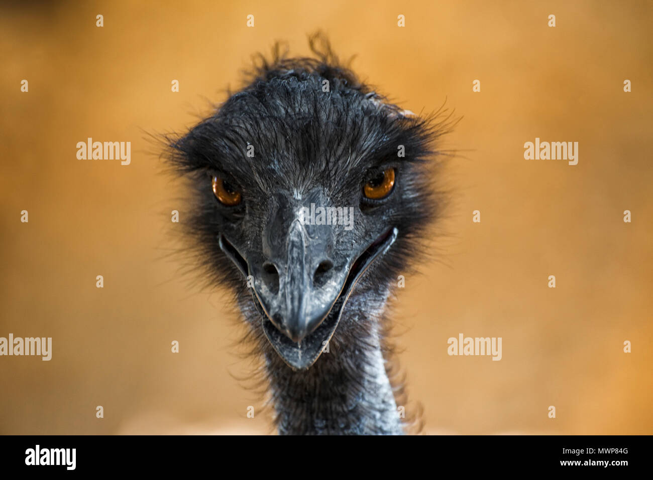 head of the ostrich is looking forward - Stock Image