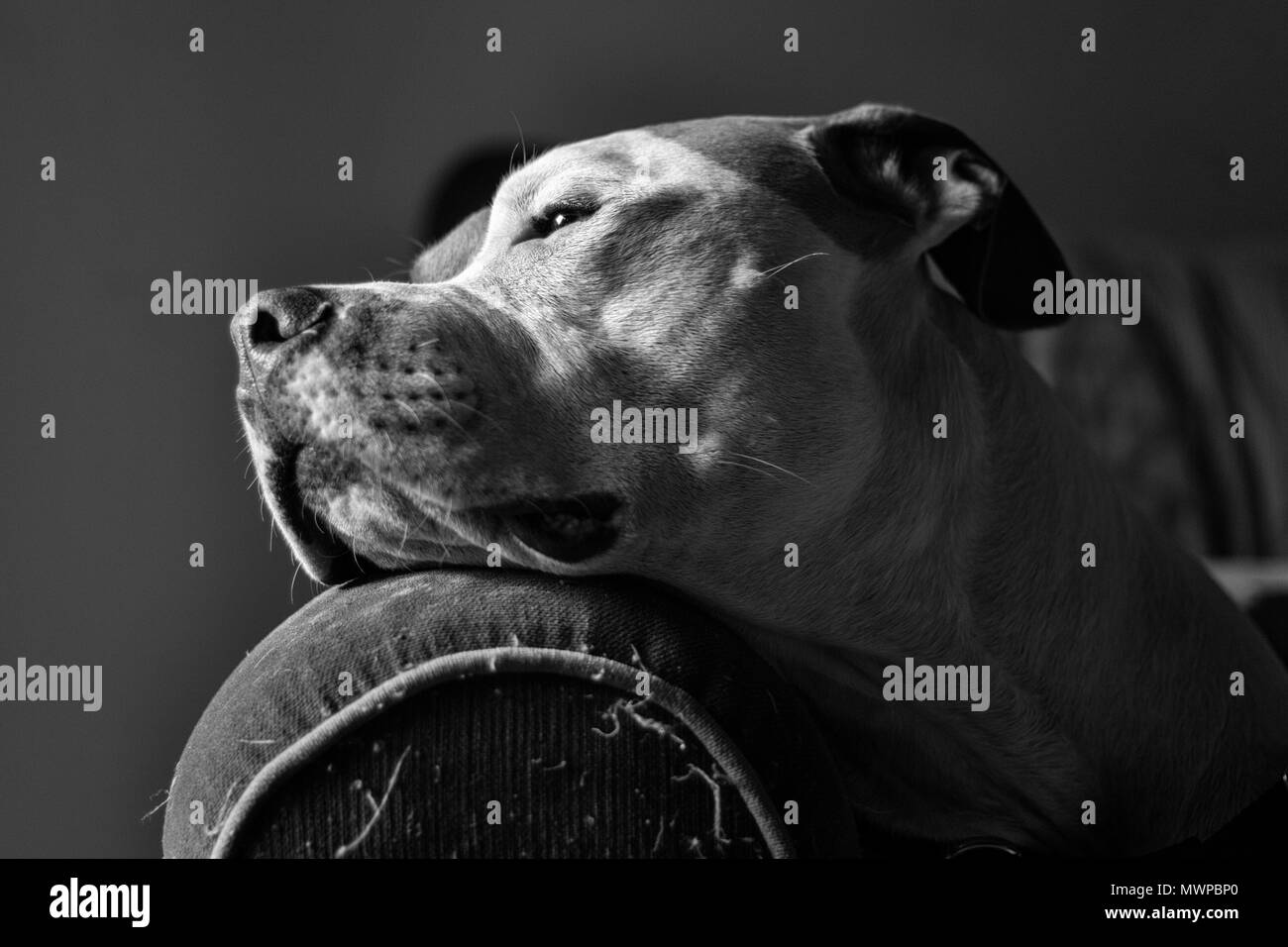 A dog (a mixed breed pit bull terrier) (Canis lupus familiaris) rests his head on the arm of a sofa, head in profile, looking noble - Stock Image