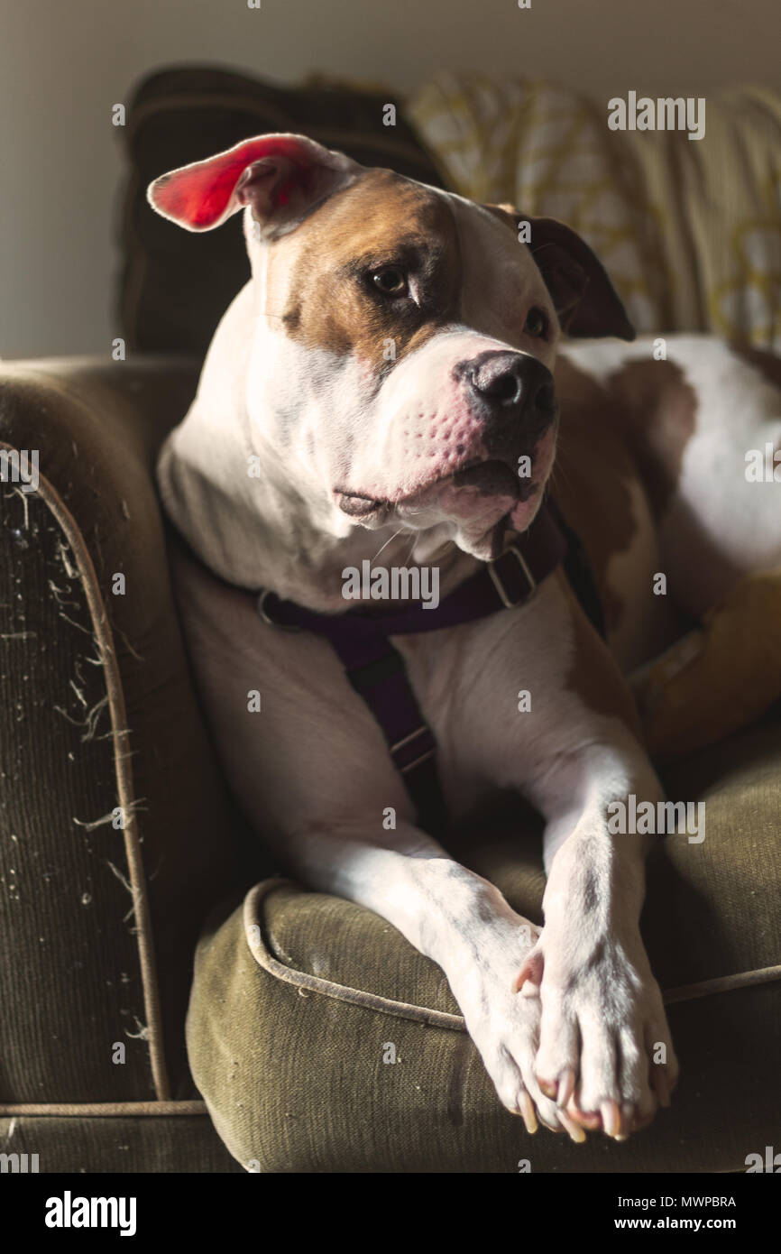 A dog (a mixed breed of pit bull terrier) (Canis lupus familiaris) sits on a couch with his head cocked, looking alert - Stock Image