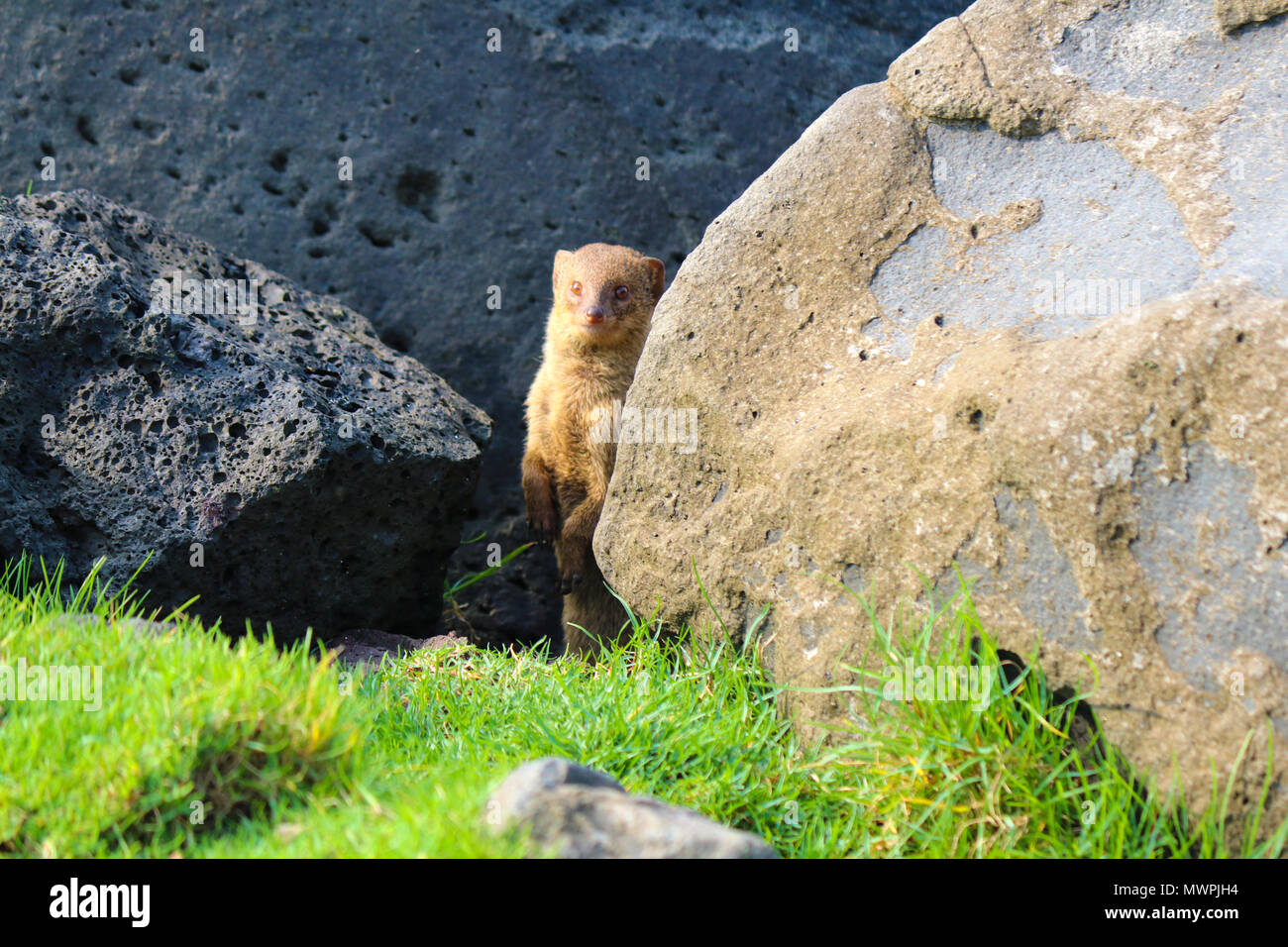 Feral mongoose hiding underneath lava rocks in Lili'uokalani Park and Gardens, Hilo Bay, Hawaii. They are considered an invasive species in Hawaii. - Stock Image