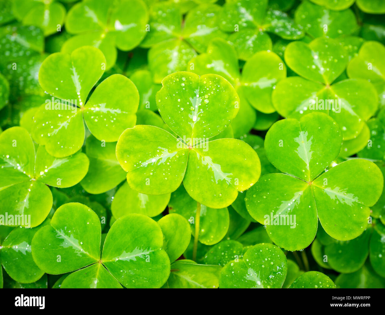 Oxalis oregana (redwood sorrel, Oregon oxalis, shamrock) at the Butchart Gardens in Brentwood Bay, British Columbia, Canada. - Stock Image