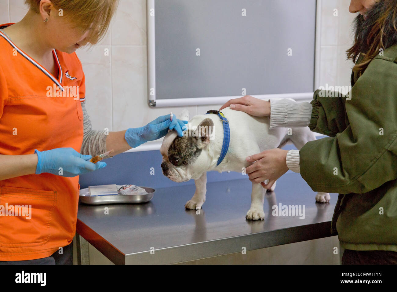 Veterinarian speaks to the dog owner in a veterinary hospital. Dog in the office of a vet doctor. - Stock Image