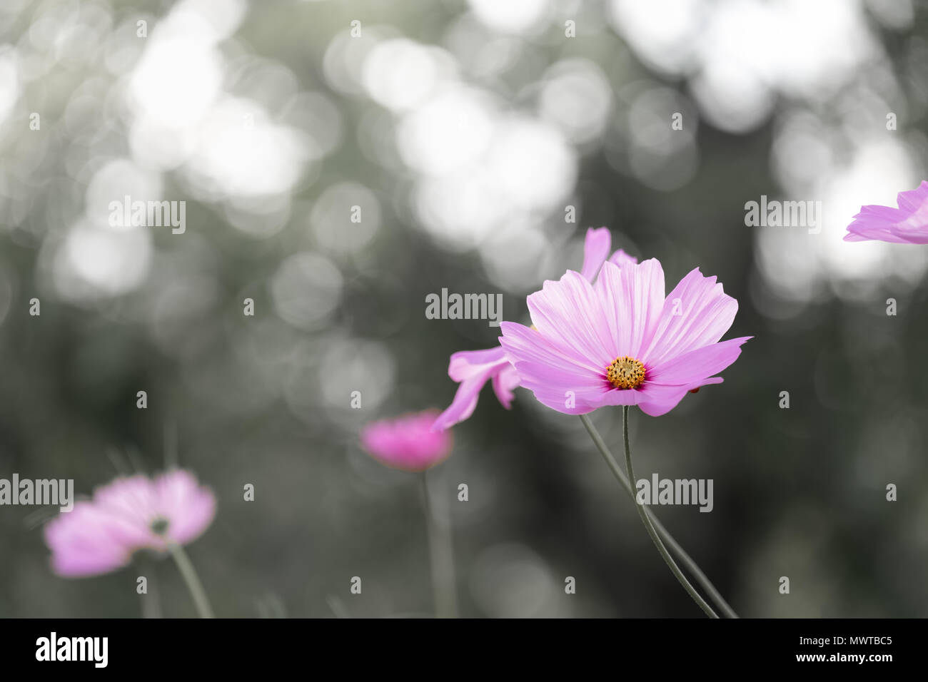 Black and white blackground-field of blooming  pink sulphureus flower in the garden, Thailand. Stock Photo