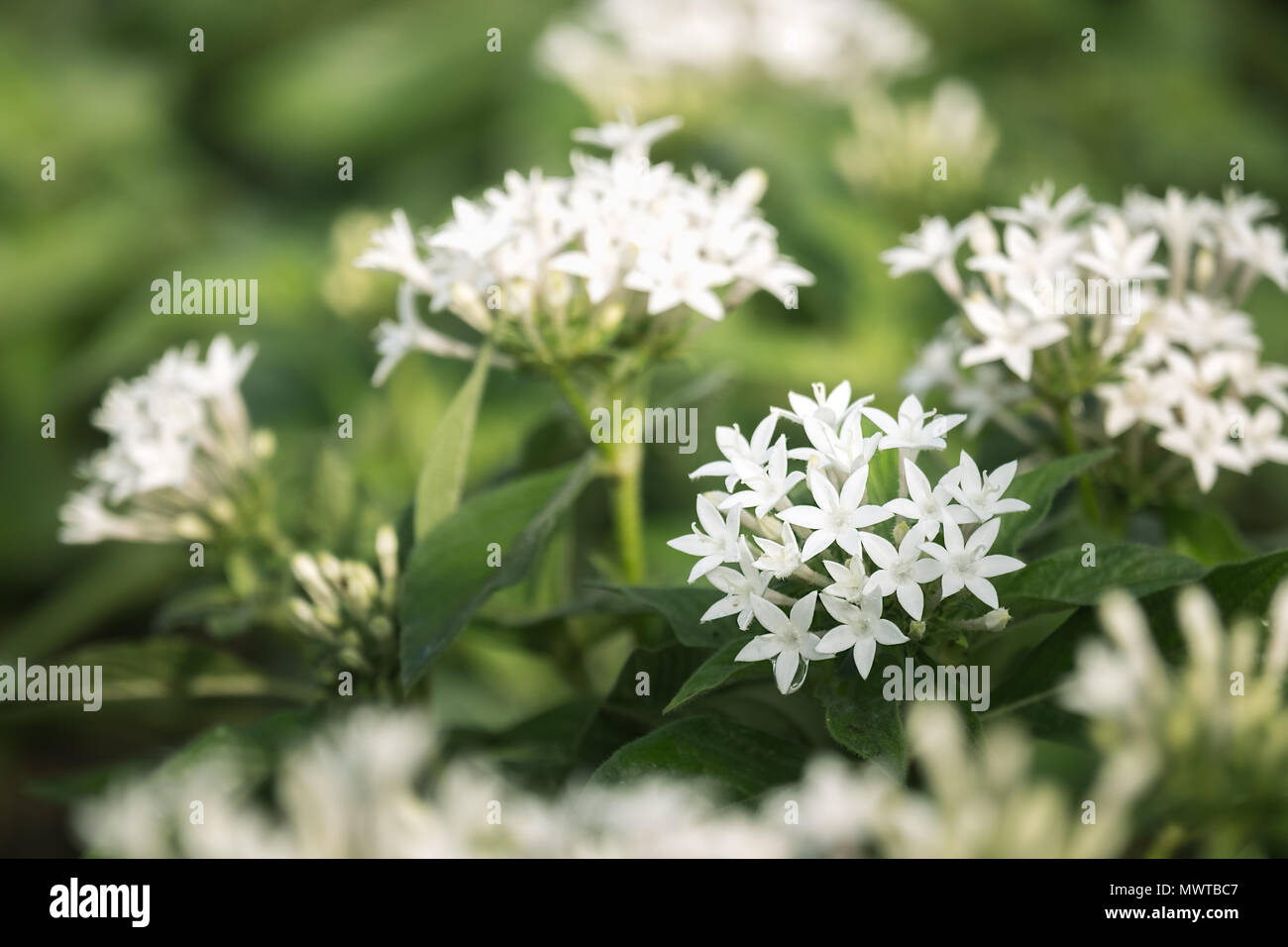 White Pentas Lanceolata Or Egyptian Star Cluster Flowers Blooming In