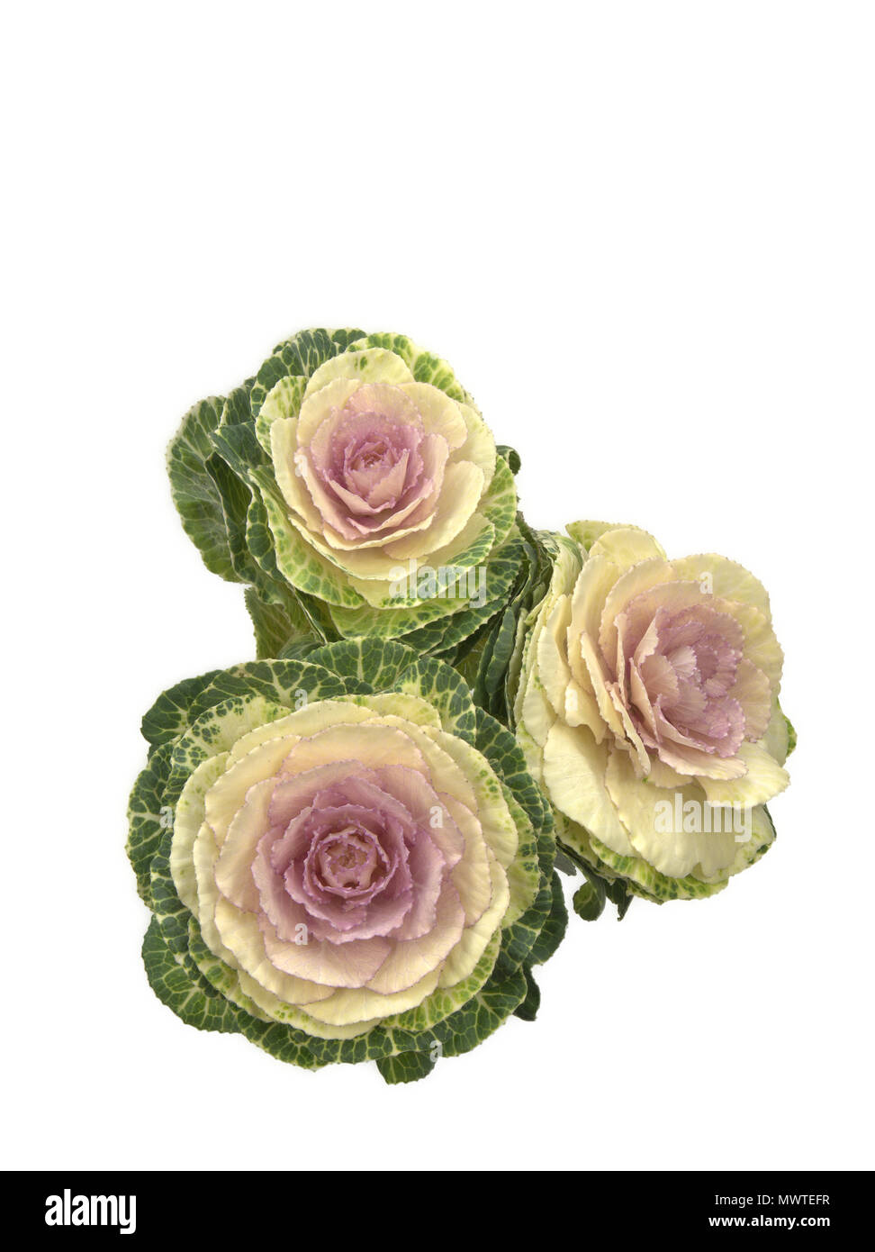 Ornamental Kale Isolated Against White Background Stock Photo