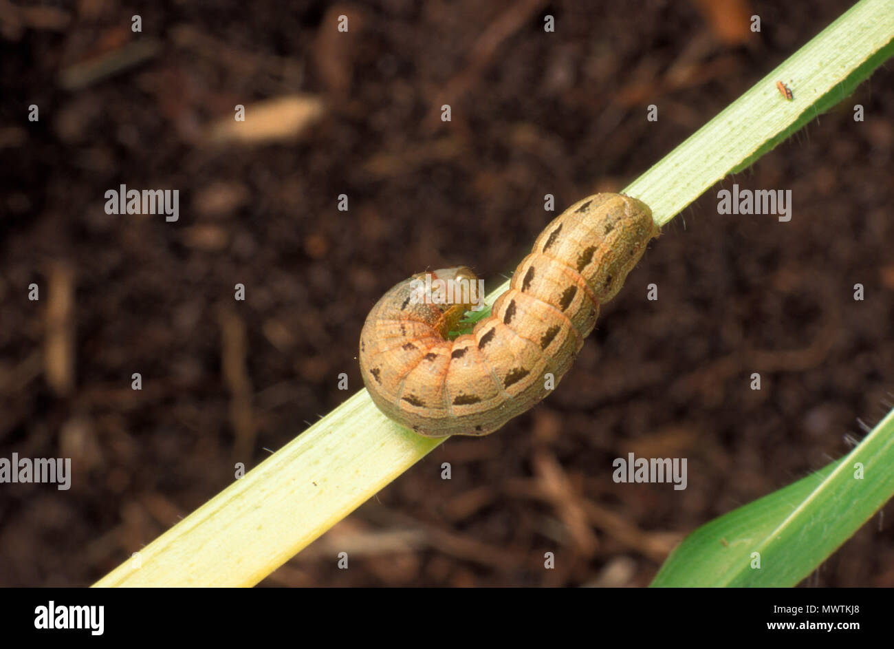 LAWN ARMYWORM (SPODOPTERA MAURITIA) ATTACKS GRASS AND SWEET CORN - Stock Image