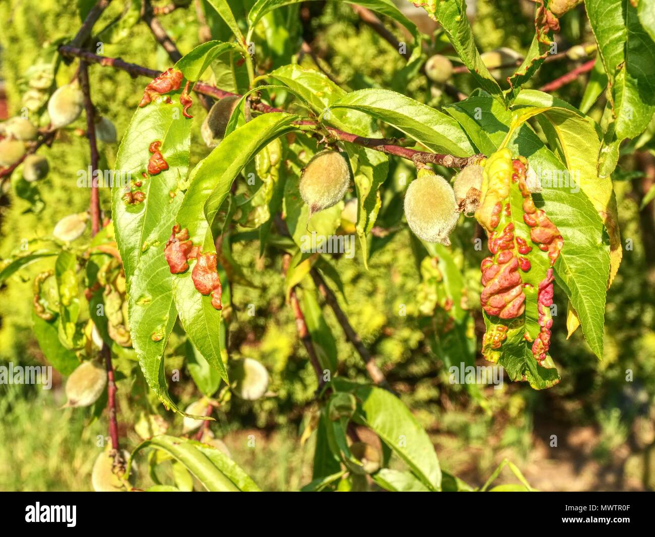 Peach leaves with leaf curl (Taphrina deformans) disease. Branch of peach with defected leaves. - Stock Image