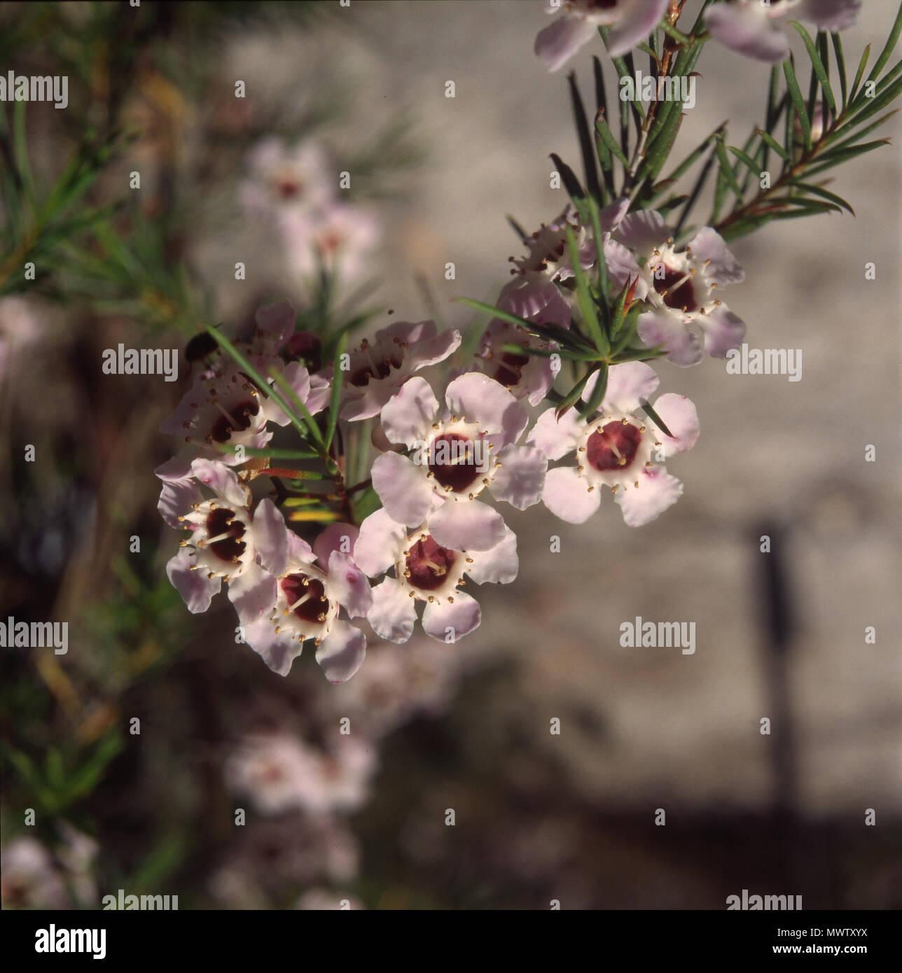 GERALDTON WAX FLOWER (CHAMAELAUCIUM UNCINATUM) - Stock Image