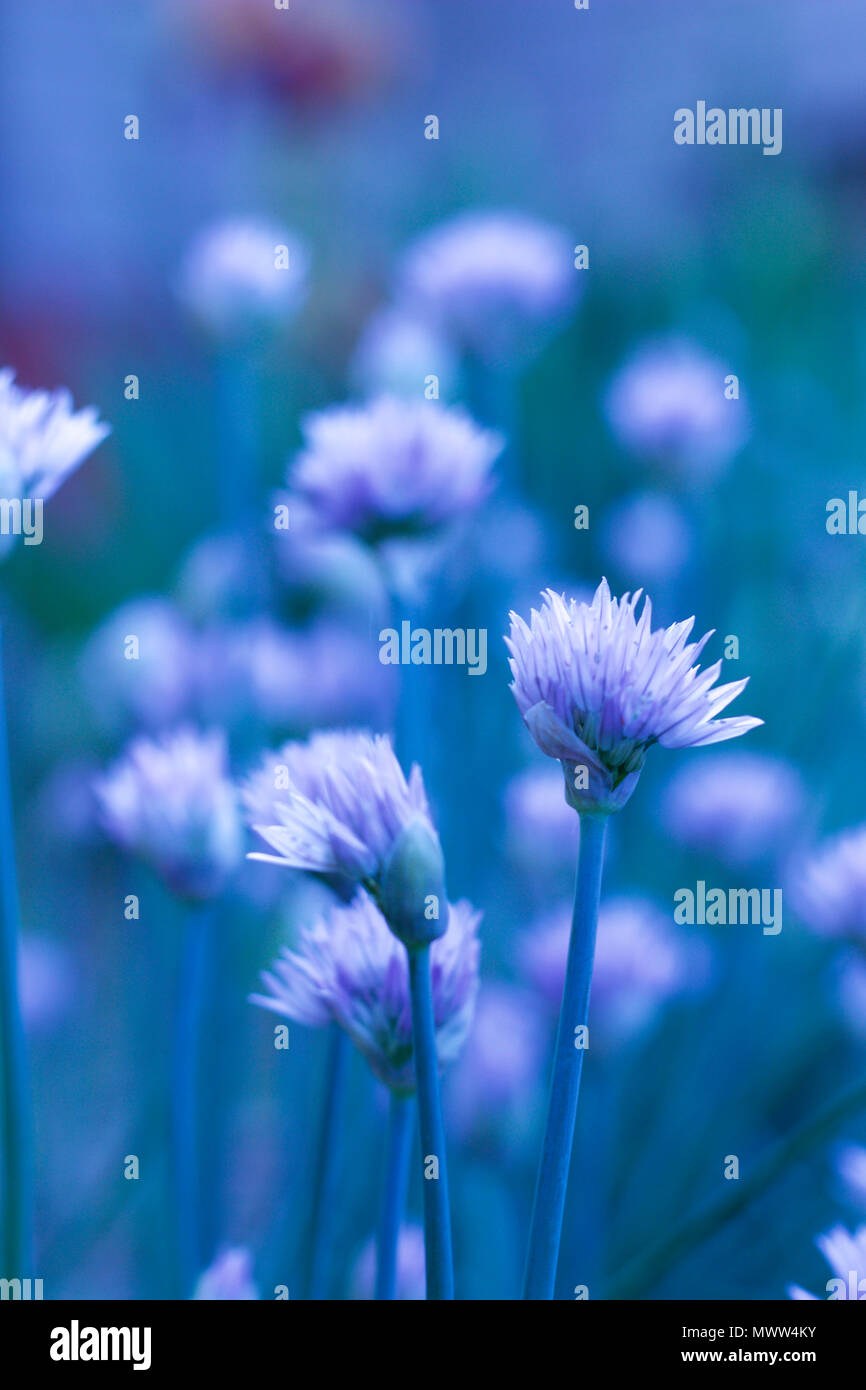 Flower Blossoms On Chive Plants With Blue Hued Background Stock