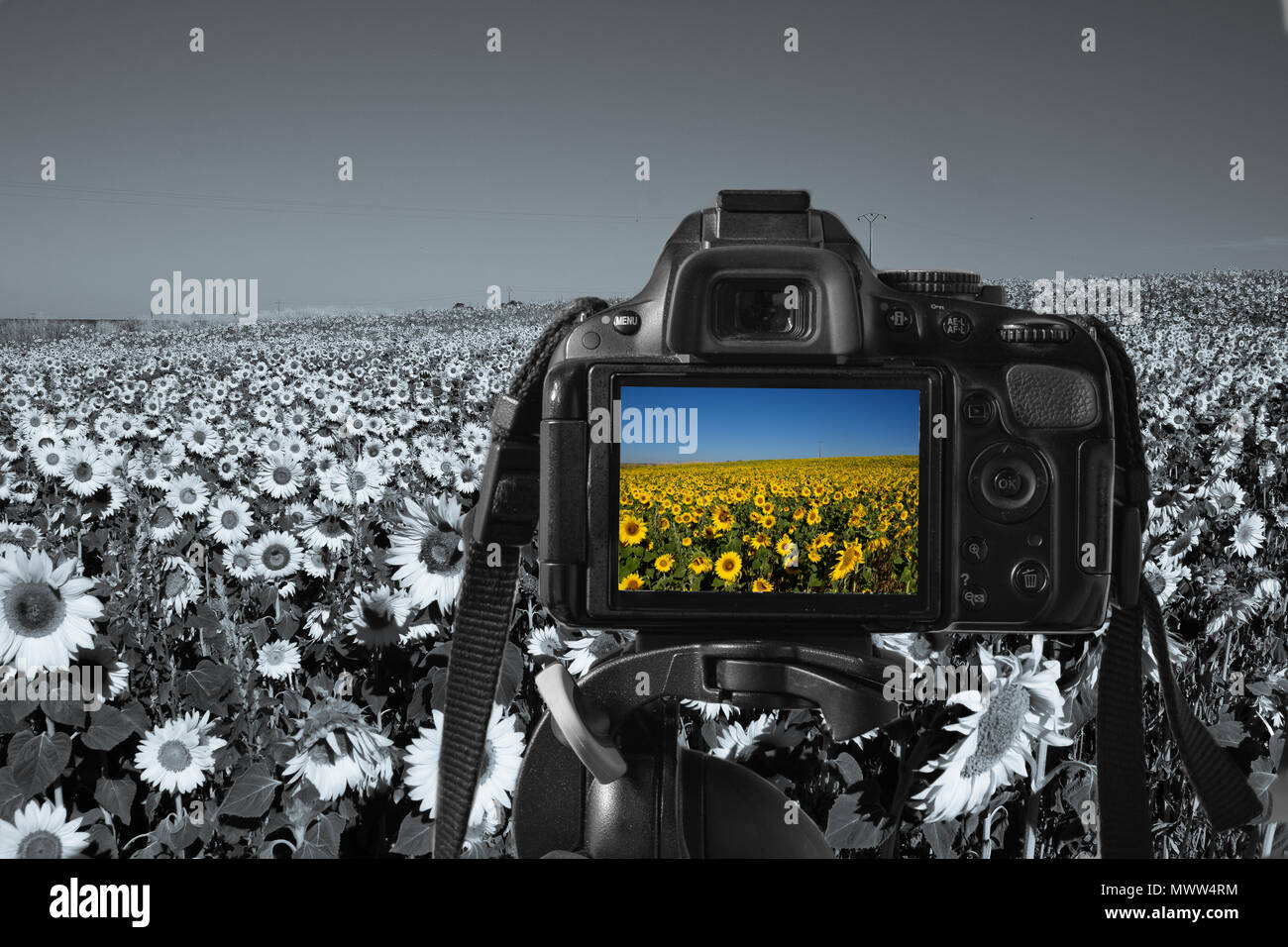 close up of a digital camera with an image of sunflowers on the live-view, monochromatic sunflowers in the background - Stock Image