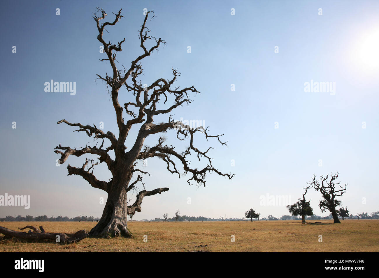 A gnarled tree lit by a hot summer sun. - Stock Image