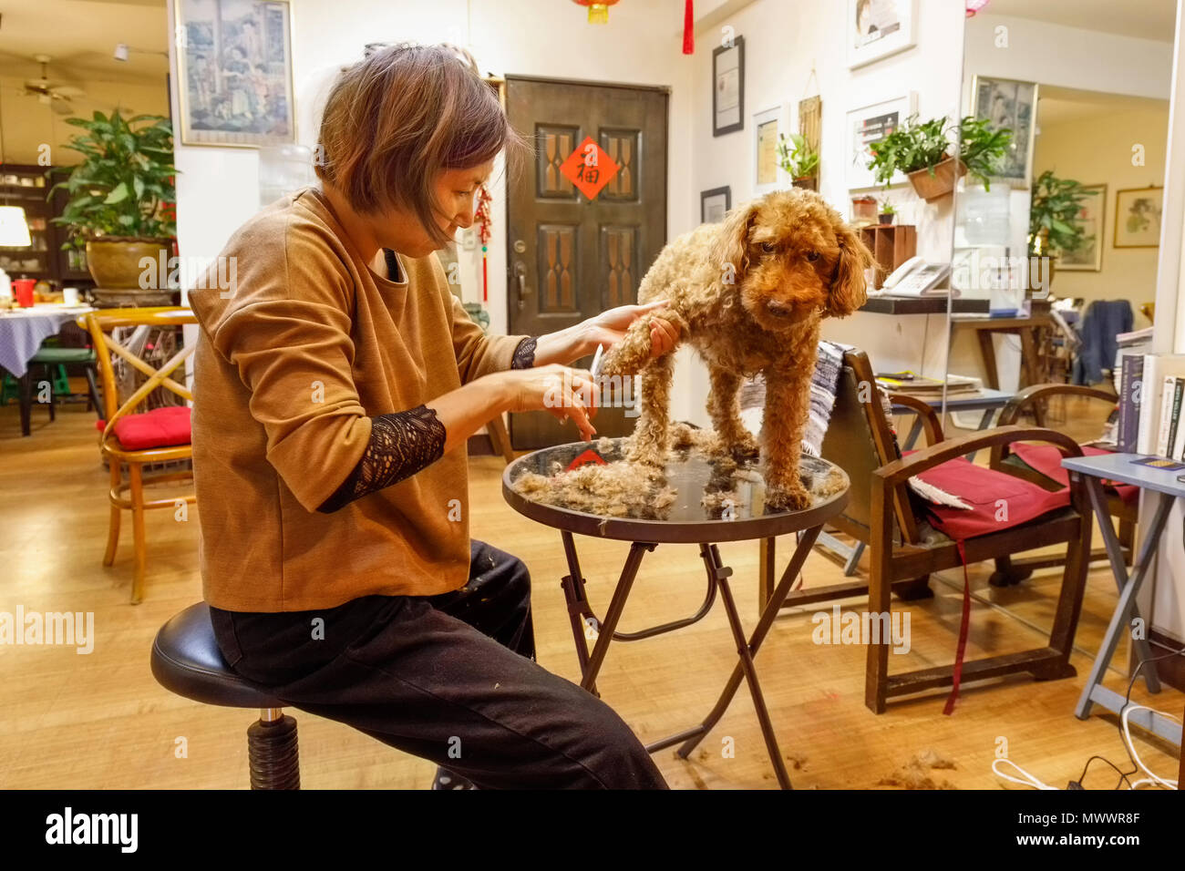Mature Taiwanese woman hairdresser of Chinese descent grooming her pet chocolate poodle in her home and hair studio - Stock Image