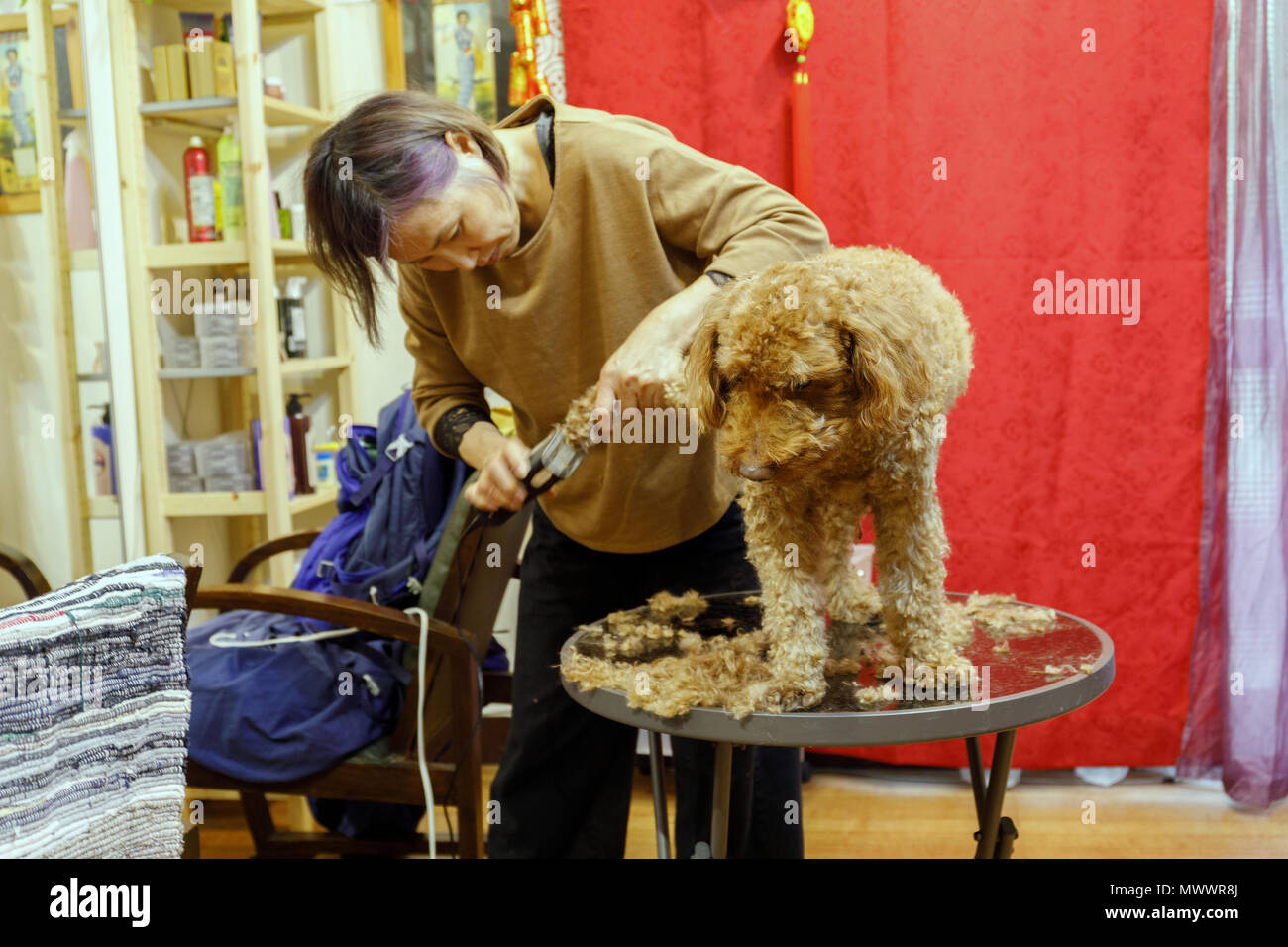 Mature Taiwanese woman hairdresser of Chinese descent grooming her pet chocolate poodle in her home and hair studio Stock Photo