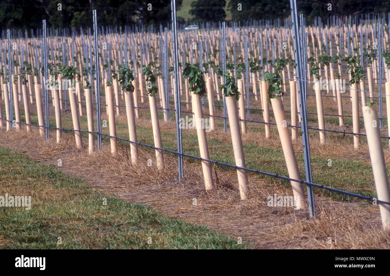 YOUNG PROTECTED GRAPEVINES GROWING IN A VINEYARD BETWEEN BERRIMA AND MOSSVALE, NEW SOUTH WALES, AUSTRALIA - Stock Image