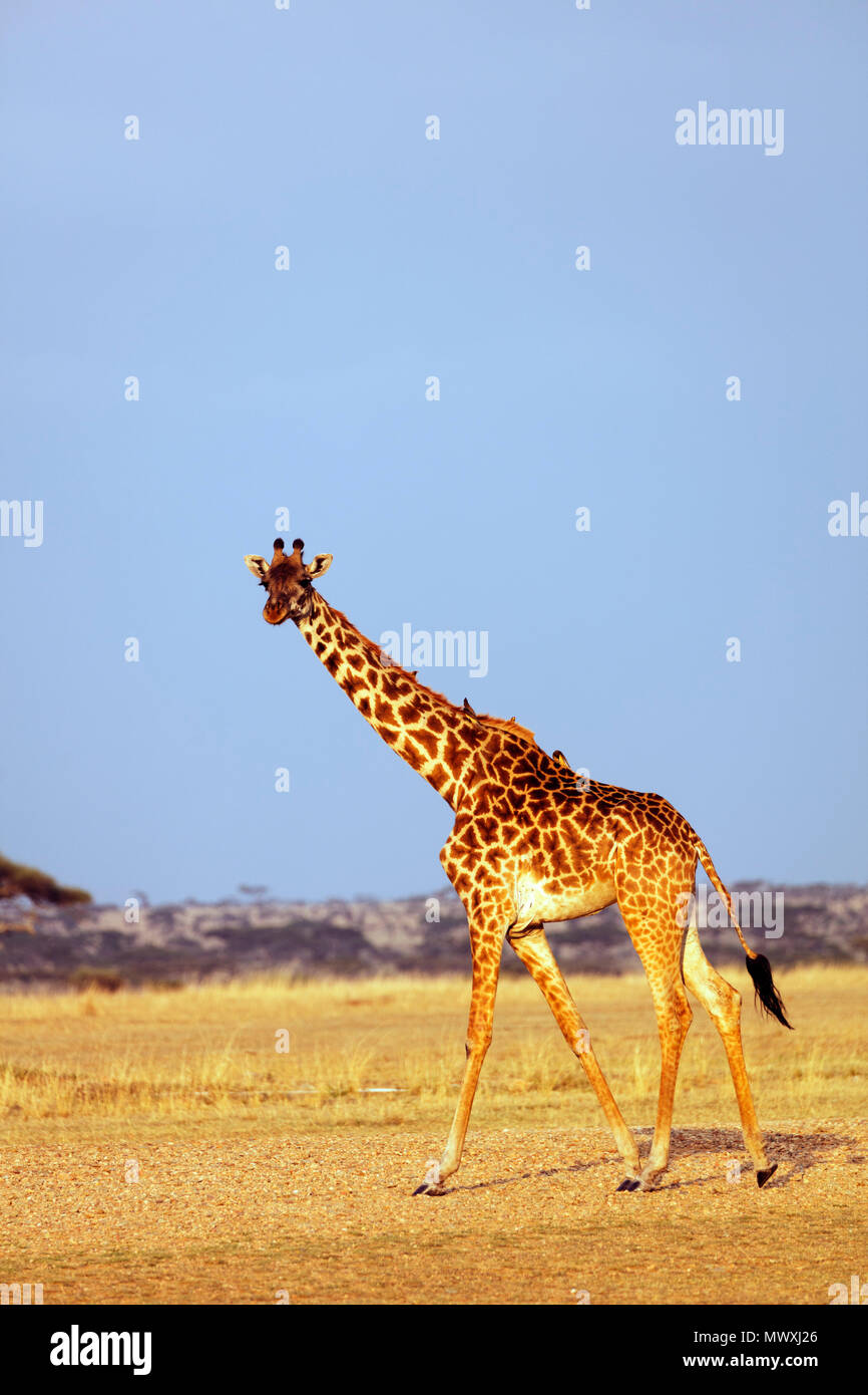 Giraffe (Giraffa camelopardalis), Serengeti National Park, UNESCO World Heritage Site, Tanzania, East Africa, Africa Stock Photo