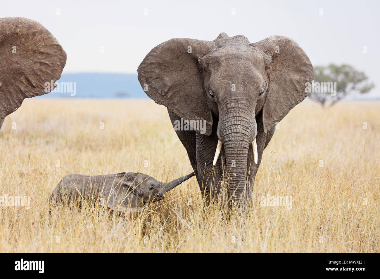 Baby African elephant and mother (Loxodonta africana), Serengeti National Park, UNESCO World Heritage Site, Tanzania, East Africa, Africa Stock Photo