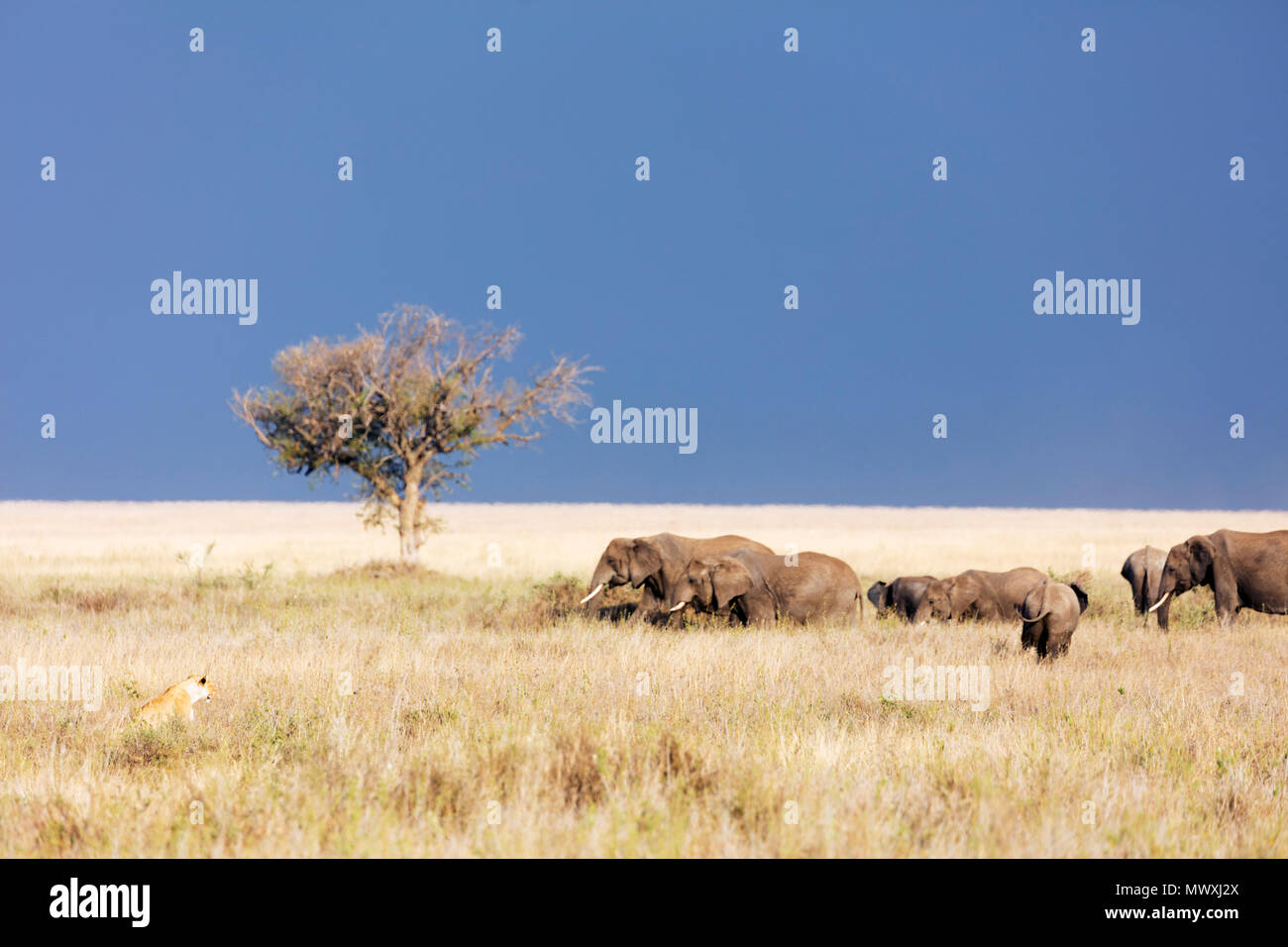 Lioness (Panthera leo) and African elephant (Loxodonta africana), Serengeti National Park, UNESCO World Heritage Site, Tanzania, East Africa, Africa - Stock Image