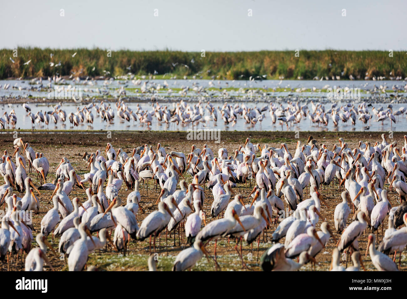 Yellow billed stork (Mycteria ibis), Lake Manyara National Park, Tanzania, East Africa, Africa - Stock Image