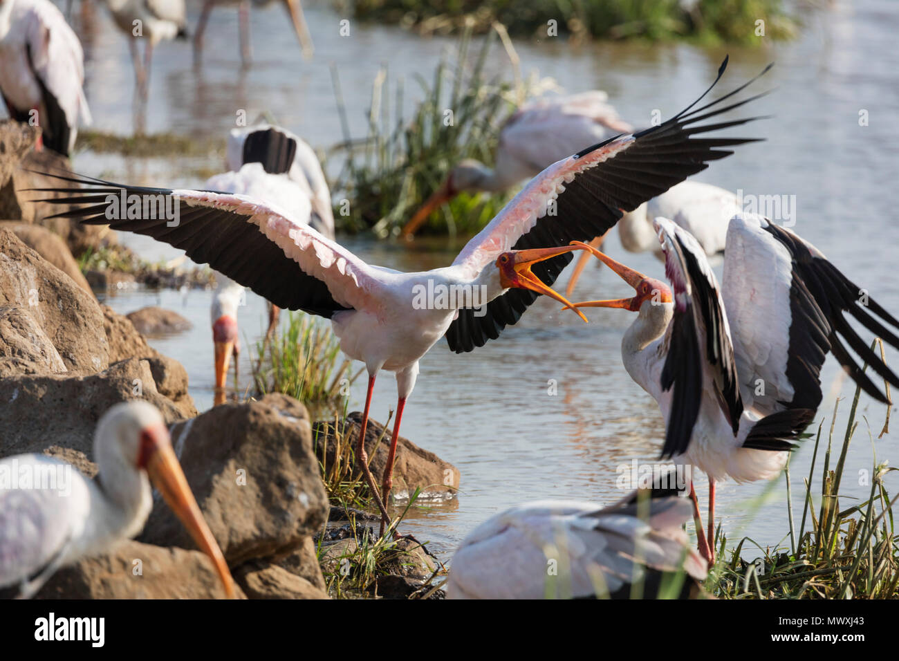 Yellow billed stork (Mycteria ibis) fighting, Lake Manyara National Park, Tanzania, East Africa, Africa - Stock Image