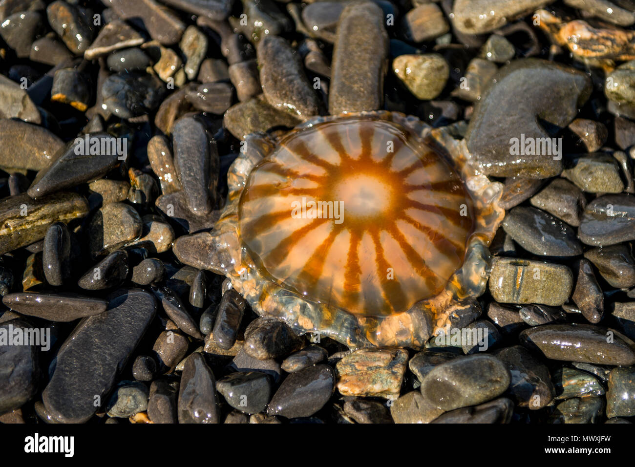 Moon Jellyfish (Aurelia aurita), Resurrection Bay, Kenai Fjords National Park, Alaska, United States of America, North America - Stock Image