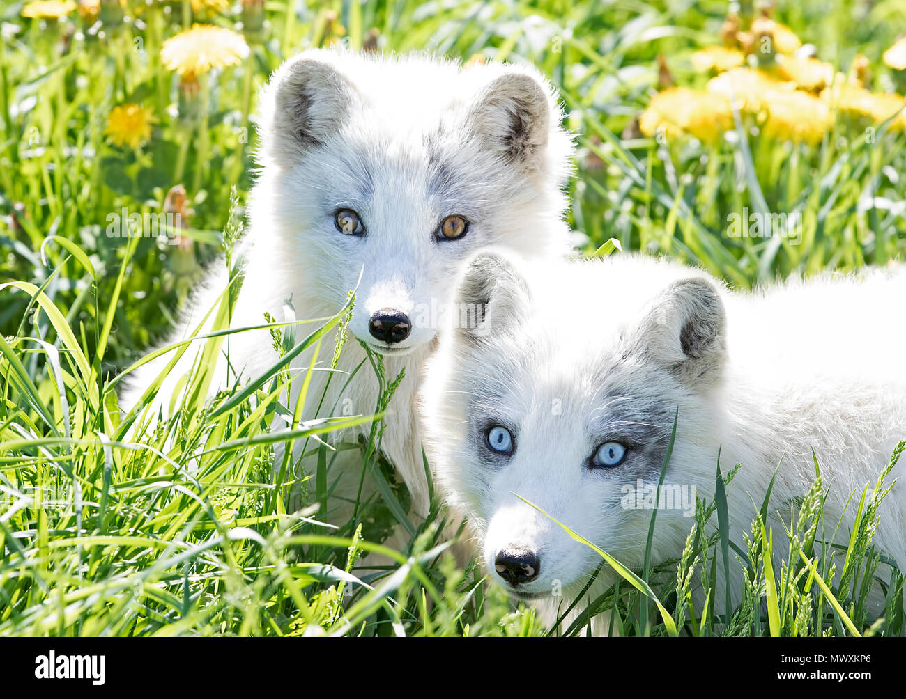 Arctic fox and kit (Vulpes lagopus) in the grass in Canada - Stock Image