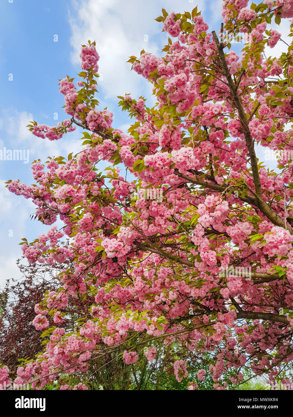 Sakura Branch High Resolution Stock Photography And Images Alamy