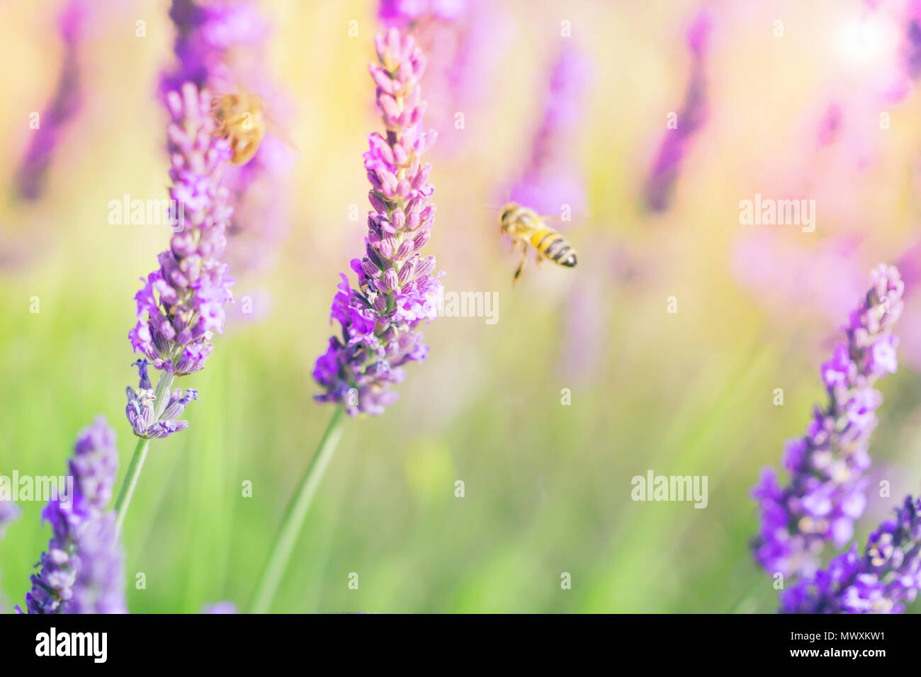 Lavender field, lavenders flowers with honey bee on the flowers at sunlight in a soft focus, pastel colors and blur background. Violet lavender field  - Stock Image