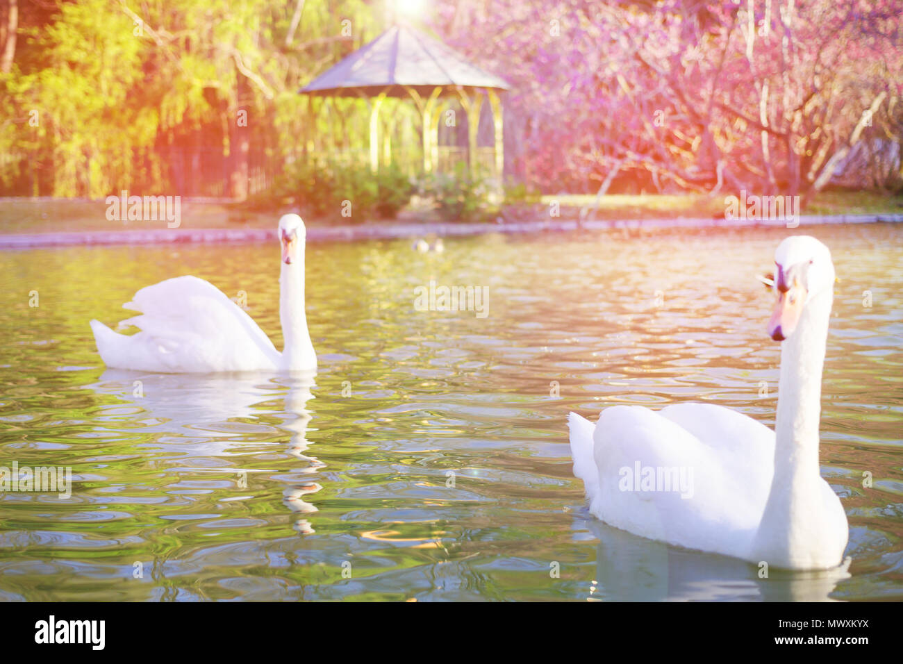 Blurred image concept, Beautiful white swan with sweet color sunset light and beautiful landscape, blurred background at the park in spring. - Stock Image