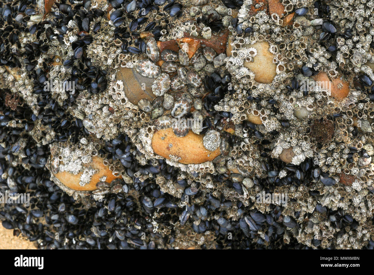 mussel covered rocks on the beach of the robberg nature reserve, garden route, south africa - Stock Image