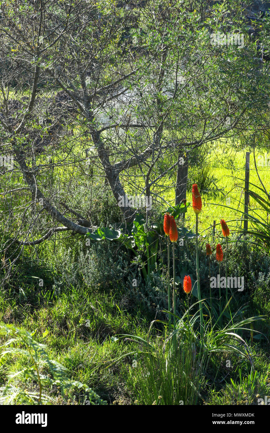 Landscape with flowers and ferns in coldstream on the , Garden Route, Tsitsikamma, protected area, Cape, South Africa, Stock Photo