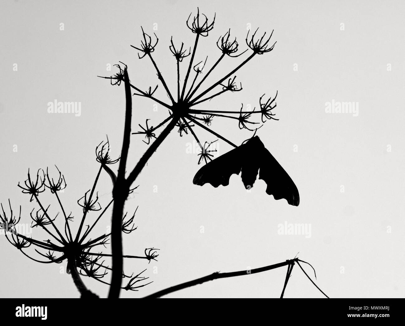 Lime Hawk-moth Mimas tiliae sillhouette - Stock Image