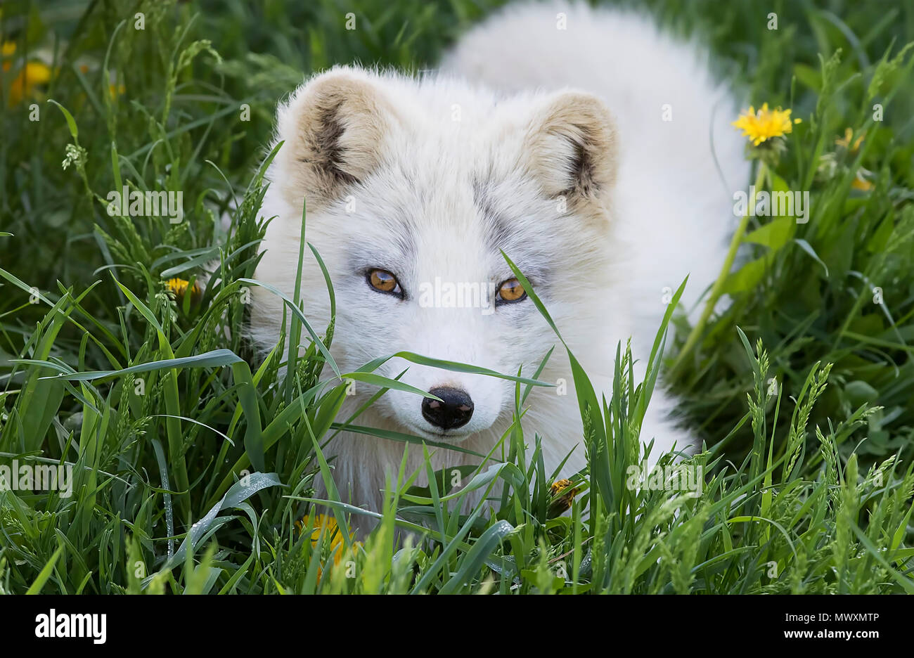 Arctic fox kit (Vulpes lagopus) in the grass in Canada - Stock Image