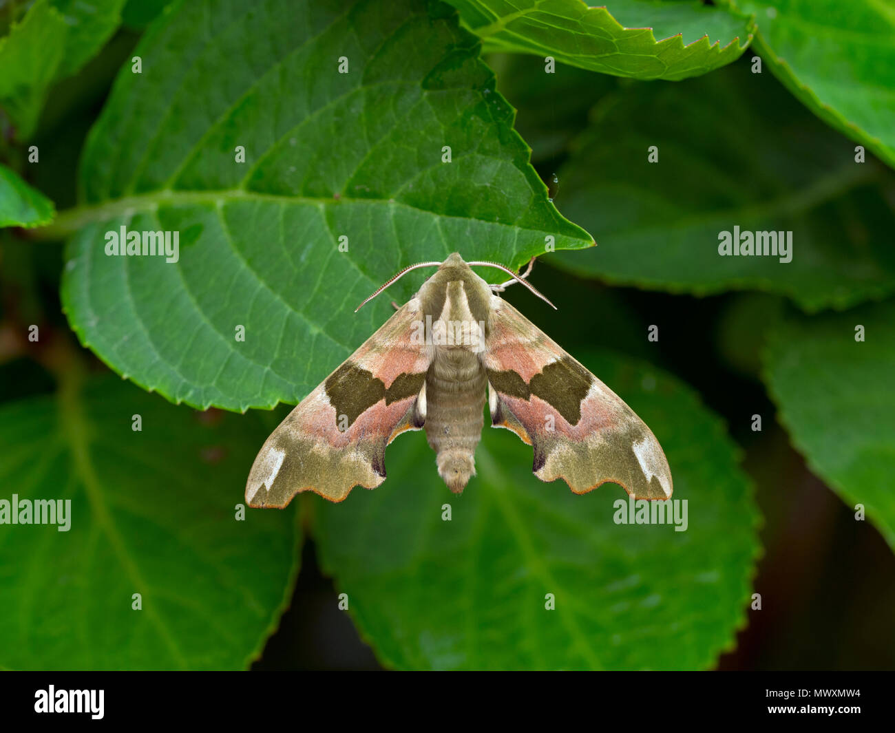 Lime Hawk-moth Mimas tiliae resting in garden Norfolk - Stock Image