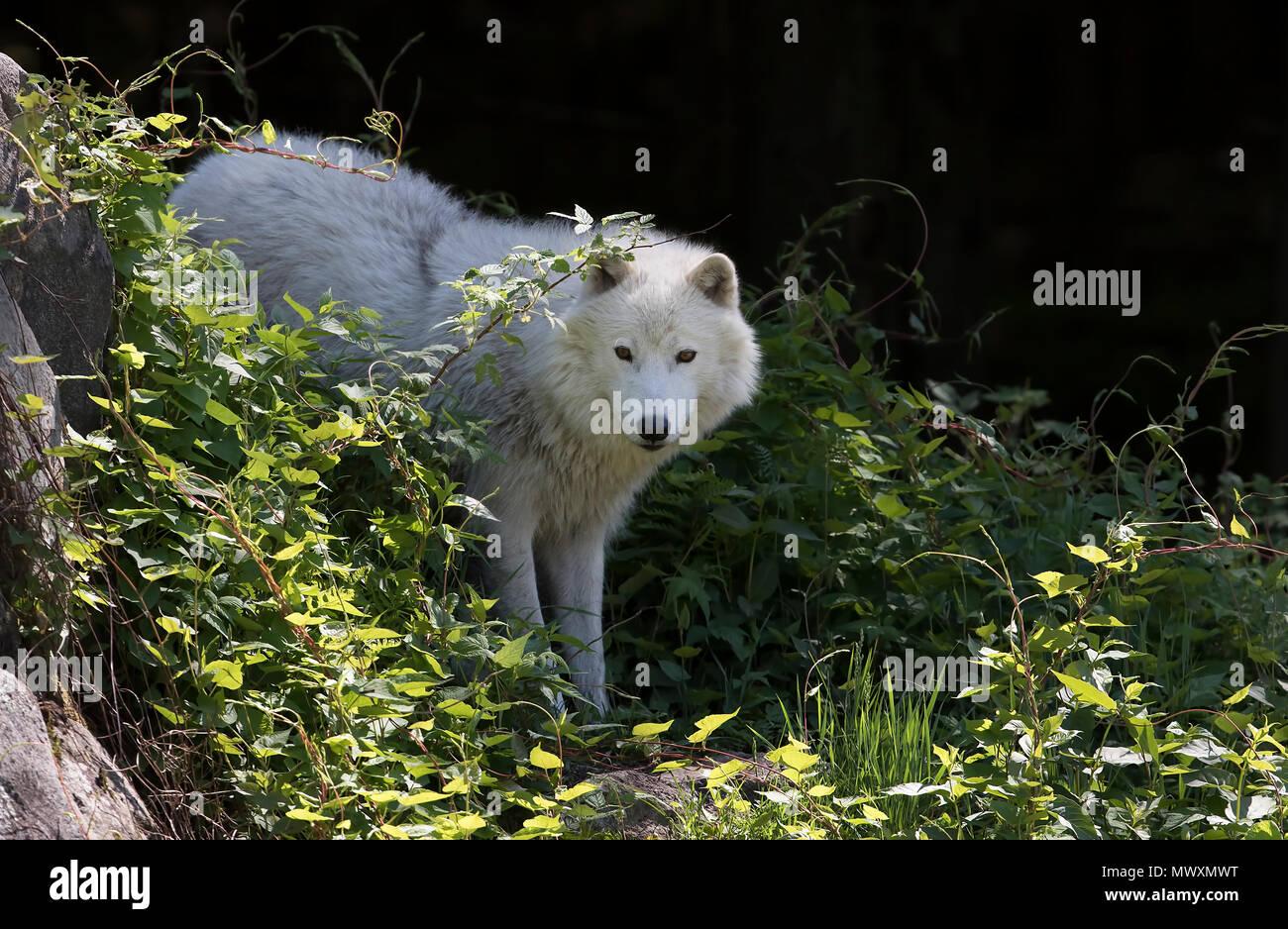 Arctic wolf (Canis lupus arctos) closeup in spring in Canada - Stock Image