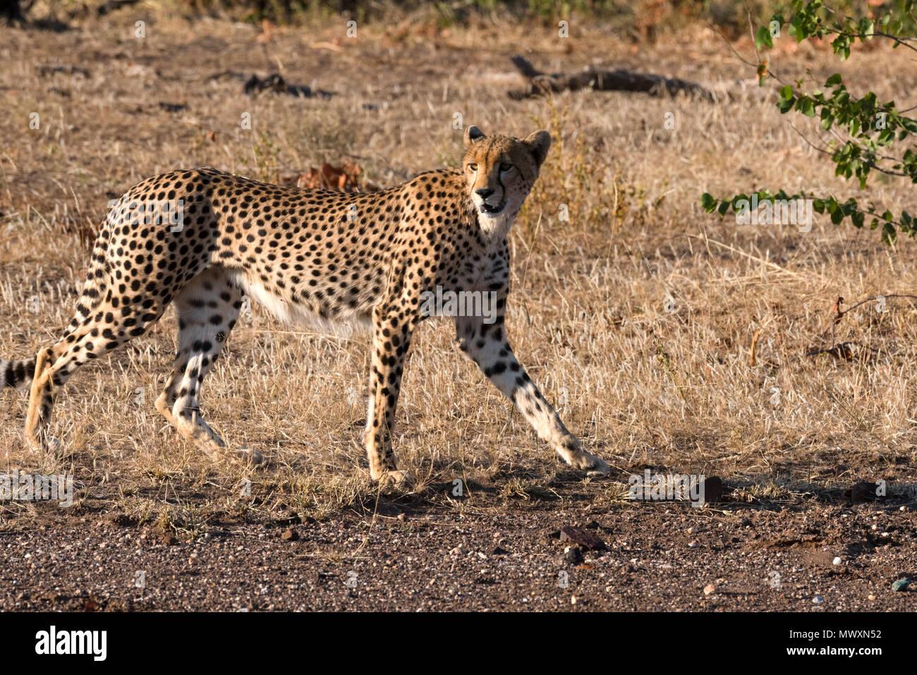 Female Cheetah at Mashatu Botswana - Stock Image